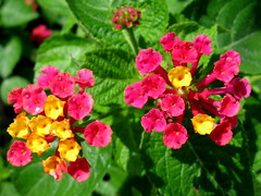 Lovely Lantana by My Lovely Wife (Puzzler4879) Tags: flowers ngc bbg brooklynbotanicgarden lantana pointshoot canonpowershot canondigital canonaseries canonphotography wonderfulphotos perfectpetals canonpointshoot flickraward a580 canona580 canonpowershota580 powershota580 awesomeblossoms 100commentgroup amazingdetails handselectedphotographs naturescarousel naturewithallitswonders niceasitgets~level1 redlevelno1