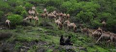 Salalah, Oman (Mayur Kakade) Tags: trees mountain green grass camel nomad creature oman camels herd nomadic salalah