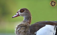 ducks (RASHID ALKUBAISI) Tags: nikon nikkor 70200 d3 rashid d800 70200mm d4     70200mmf28 d3x nikond4 alkubaisi d3s   wwwrashidalkubaisicom