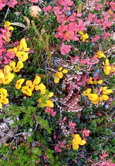 Haust (unnurol) Tags: blue autumn red sky flower green fall yellow haust thingvellir þingvellir blueberries 2012 rautt þingvallavatn rauður
