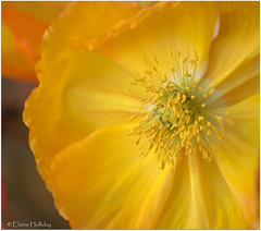 Yellow Californian Poppy (loobyloo55) Tags: flower nature yellow flora poppy californianpoppy floraandfauna canoneos400d