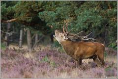 Hertenbronst 2012 (wimzilver) Tags: nature netherlands nederland natuur 7d reddeer hogeveluwe statief edelhert nationalparkdehogeveluwe wimzilver bronst canon300mmf4lis14ex