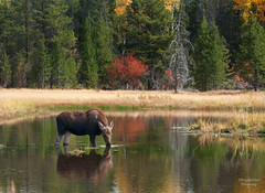 Sweet little reflection (Amy Hudechek Photography) Tags: baby fall water animal nikon moose getty gettyimages grandtetonnationalpark d300 gtnp moosecalf happyphotographer topphotospots tpsnature amyhudechek