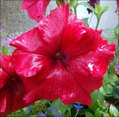 Red Petunia .. (* Janets Photos *) Tags: uk flowers red plants flora petunia topshots mixedflowers artisticflowers takenwithlove photosandcalendar flowersarebeautiful excellentsflowers mimamorflowers waterdropsmacros floraanffaunaoftheworld flickrflorescloseupmacros panoramafotogrfico panoramafotografico mindigtopponalwaysontop theoriginalgoldseal flickrsportal goldenachievement rememberthatmomentlevel1