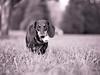Maisie (R. van Meter) Tags: dogs pennsylvania mamiya645 maisie ilfordxp2400 epsonv700 ottsville