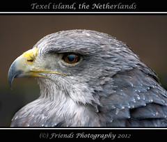 Chili eagle, don't you touch me (drbob97) Tags: blue holland bird me netherlands canon island chili blauw eagle you touch north beak feathers nederland dont prey geel raptors texel vogel eiland noord drbob arend eilanden oosterend veren roofvogel snavel 40d mygearandme mygearandmepremium drbob97 rememberthatmomentlevel1 rememberthatmomentlevel2 rememberthatmomentlevel3