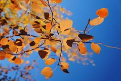 Aspen Orange Leaf (Powskichic of Bend) Tags: blue autumn sunset sky orange white color fall leaves oregon centraloregon season bend harvest bark change aspen createbeauty shevlincommons powskichicofbend brendareidirwin