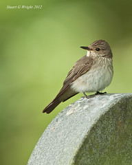 Spotted Flycatcher (Stuart G Wright Photography) Tags: bird birds wildlife spotted flycatcher wwwstuartgwrightcom