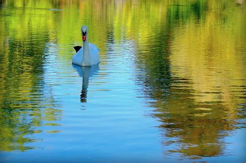 Autumn Lake with Swan