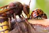 Sap Addicts (Dom Greves) Tags: wood uk autumn woodland insect october wildlife surrey bark ladybird birch hornet stripping scrub scraping invertebrate sapling behaviour foraging harmoniaaxyridis vespacrabro ockhamcommon