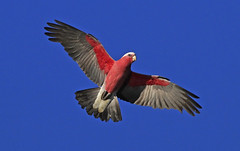 Galah : Spring morning . . . (Clement Tang ** Busy **) Tags: morning nature inflight spring wildlife parrot australia bluesky victoria avian galah birdwatcher cacatua eolophusroseicapillus closetonature concordians candlebarkpark