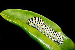 Caterpillar (RPMarques) Tags: macro nature up close sony caterpillar slt a55 minoltaamount