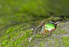 Neoscona scylloides (aeschylus18917) Tags: macro nature japan female tokyo spider nikon arachnid    setagaya arachnida araneae 105mmf28  setagayaku  araneidae neoscona todorokivalley 105mmf28gvrmicro d700 nikkor105mmf28gvrmicro  nikond700 danielruyle neosconascylloides aeschylus18917 danruyle druyle     satsumanomidamashi