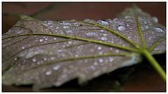 Looks like autumn (Paddyllac) Tags: autumn green leaves rain nikon flickr raindrops d5100 nikond5100 paddyllac