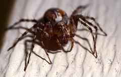 Western Lynx (jenofdiamond) Tags: spider arachnid lynx oxyopes oxyopesscalaris macromarvels arachtober westernlynx