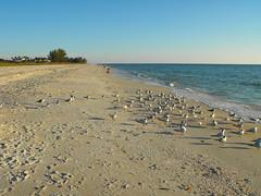 Sarasota, Florida (Pablo F. J.) Tags: ocean sea costa bird beach coast mar sand dune shoreline playa arena coastal ave coastline duna litoral ocano naturallandscape littoral physicalgeography geomorfologa paisajenatural playamedia geografafsica
