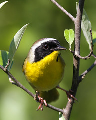 Common Yellowthroat (mattlev12) Tags: common yellowthroat