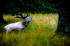 Red Deer in heat (newfilm.dk) Tags: autumn fall deer antlers reddeer dyrehaven inheat cervuselaphus