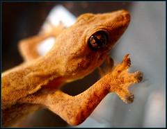 Close up of a little gecko...'Jing-Jok..' in Thai.....  Kalasin Thailand (larryoien) Tags: lx5 earthasia totallythailand