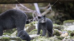 black bear and two cubs video (texanature8877) Tags: bear autumn sleeping wild brown canada black game colour tree cute nature face field animal fauna standing forest mammal zoo cub video big log rainforest sitting stuck eating british
