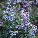 Blue Mist Penstemon