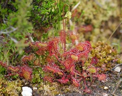 Round-leaved Sundew - Drosera rotundifolia (jeannie debs) Tags: red insect droplets moss sticky alien pools wetlands wildflower bog carnivorous tendrils droserarotundifolia roundleavedsundew sphagnum heathlands