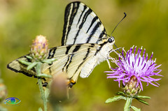 Farfalla Zebra (Simone_Callegari) Tags: details dettagli detail gree verde 105 105mm d7000 nikon animali animale insetti insetto insects animals insect animal nature micro super macro farfalla zebra butterfly