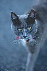 (CarolienCadoni..) Tags: sonyslta99 sal85f14z sony cat grey red bokeh dof