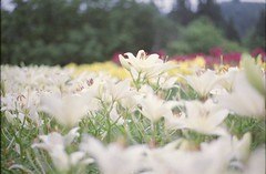 (.) Tags: japan nature summer lily flower film pentaxsp pro400h