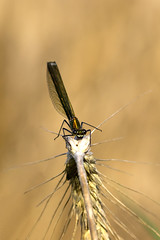 \ (michel1276) Tags: libelle prachtlibelle dragonfly macro makro canon 100mm earthnaturelife insekt insect