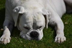Milky ! (Mara 1) Tags: dog pet white green face grass animal nose legs ears boxer paws