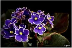 African Violets Plant. (cpark188) Tags: african violetsplants olympus epl3 flowers furryleaves darkgreen