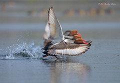 Olympic Race!!! (Anirban Sinha 80) Tags: nikon d610 500mm vrii n ed bokeh bird take off wings