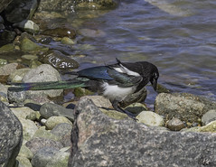 Black-Billed Magpie_0244 (Kerry. Williams - Amateur) Tags: blackbilledmagpie magpie manitoba lakewinnipeg birds boreal borealforrest