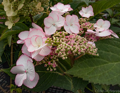 There's More To Come (J_Richard_Link) Tags: flower hydrangea plant flora blossom nature outdoor availablelight naturallight macro pink
