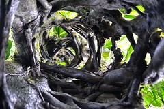 Inside a Strangler Fig (jacksonchambers) Tags: ecuador2015 stranglerfig ecuador rainforest fig tree nature plants photography