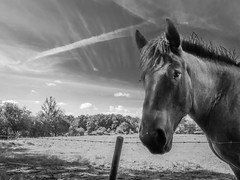 Posing (Smeets Paul (thanks for 1,2 million views !)) Tags: paarden