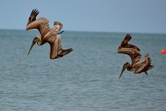 Syncronized Diving (bmasdeu) Tags: dance syncronize swim fishing birds pelicans tropical waters saltlife