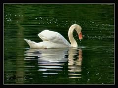 guten Wochenstart !!! (karin_b1966) Tags: tier animal vogel bird wasser water spiegelung reflction natur nature spaziergang naturewalk 2014 schwan swan archivbild