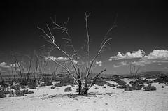 Bare (bhop) Tags: salton sea california indio desert saltonsea bw monochrome black white kodak trix 400tx film nikon f4 f4s filmcamera analog 2850mm ais tree trees redfilter