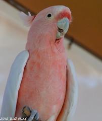 Parrot 8 (Bill Dahl 2 Million+ Views Club) Tags: copyright2016 avian birdphotography birds photographybybilldahl photobybilldahl photosbybilldahl photographerbilldahl billdahl billdahlphotography billdahlphotographer httpwwwbilldahlnet canoneos7d canon7d canon