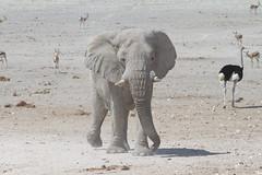 Namibia 2016 (306 of 486) (Joanne Goldby) Tags: africa africanelephant antidorcasmarsupialis august2016 elephant elephants etosha etoshanationalpark explore loxodonta namiblodgesafari namibia safari springbok antelope