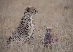 Watching mum (Sue MacCallum-Stewart) Tags: cheetah kenya maasaimara malaika cub bigcat africa carnivore