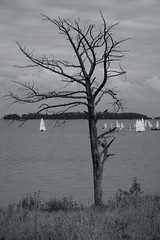 The Tree (Antti Tassberg) Tags: 135mm autumn bw blackandwhite boat fall haukilahti kelo landscape lens mellsten meri monochrome prime purjehdus puu sailing sea syksy tree vene espoo