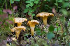 Toradh na coille - buachrach (tijowa) Tags: perthshire scotland woodland forest chanterelle girolle cantharelluscibarius mushroom fungus buachrach