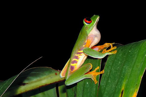San Ignacio - Red-eyed Tree Frog