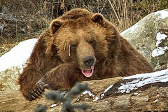 sweet dreams (ucumari photography) Tags: ucumariphotography columbus ohio zoo alaskanbrownbear oso bear animal mammal 2013 dsc9653 brutus buckeye january specanimal