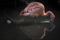 Flamingo 6 (Darwinsgift) Tags: flamingo twycross zoo warwickshire nikkor 200500mm f56 e nikon d810 bird water feather reflection greaterphotographers