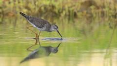 Greater Yellowlegs (Matt Scott Wildlife Photography) Tags: waders wader birds bird aves aruba caribbean water canon reflection yellowlegs greateryellowlegs