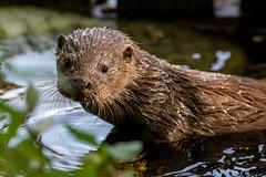 20160911_100055.jpg (Sd_neo) Tags: otter lancasterdistrict england unitedkingdom gb rspbleightonmoss 2016